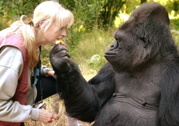 Lifelong friends Dr. Penny Patterson and Koko (Photo: The Gorilla Foundation)
