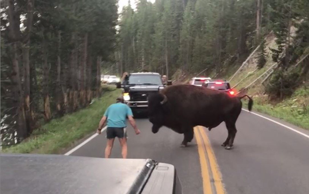 Bison harasser busted after string of drunken park incidents